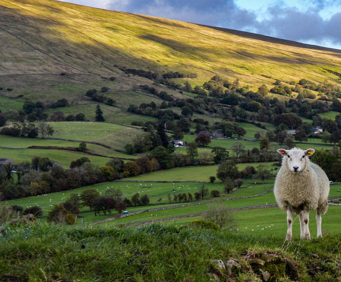 Sheep overlooking Dent